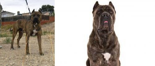 Perro de Toro vs Cane Corso