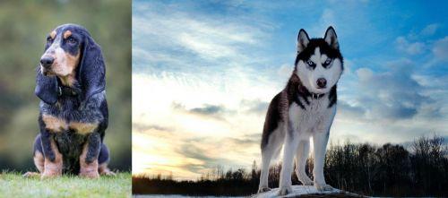 Petit Bleu de Gascogne vs Alaskan Husky