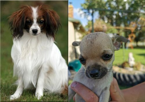 Phalene vs Chihuahua