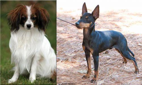 Phalene vs English Toy Terrier (Black & Tan)