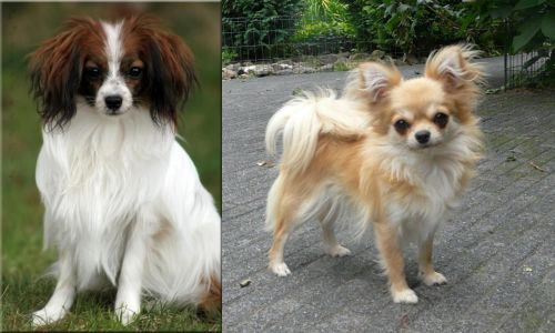 Phalene vs Long Haired Chihuahua