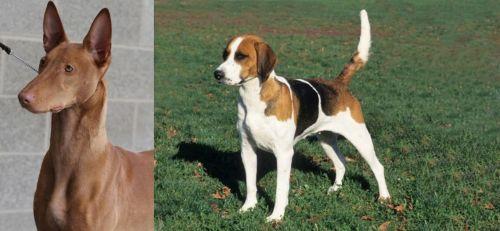 Pharaoh Hound vs English Foxhound