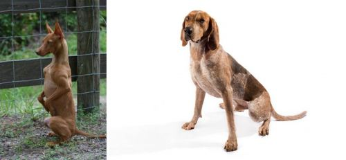 Podenco Andaluz vs Coonhound