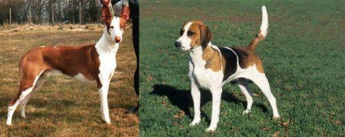 Podenco Canario vs English Foxhound
