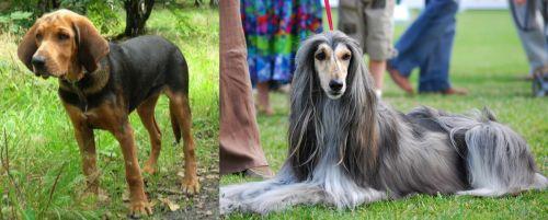 Polish Hound vs Afghan Hound