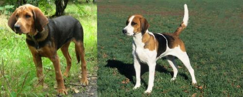 Polish Hound vs English Foxhound