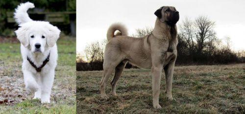 Polish Tatra Sheepdog vs Kangal Dog