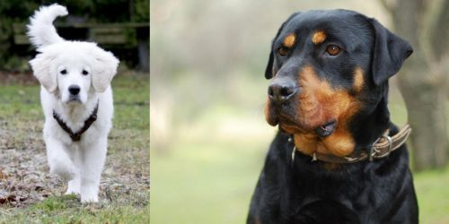 Polish Tatra Sheepdog vs Rottweiler