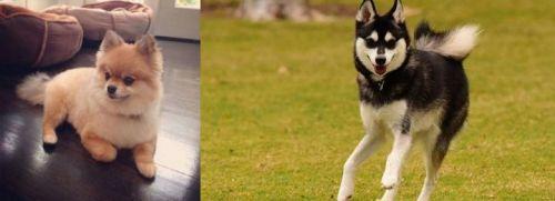 Pomeranian vs Alaskan Klee Kai