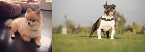 Pomeranian vs Bantam Bulldog