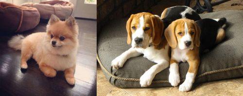 Pomeranian vs Beagle