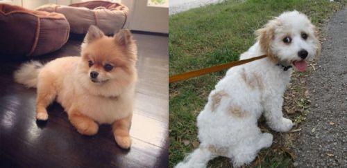 Pomeranian vs Cavachon