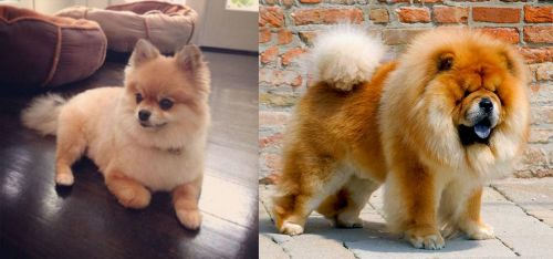 Pomeranian Vs Chow Chow Breed Comparison Mydogbreeds