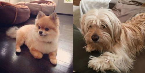 Pomeranian vs Cyprus Poodle
