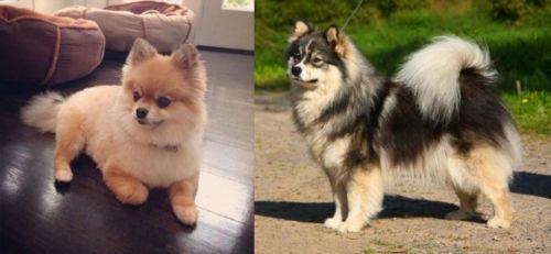 Pomeranian vs Finnish Lapphund - Breed Comparison