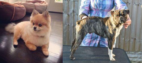Pomeranian vs Fruggle