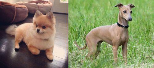 Pomeranian vs Italian Greyhound