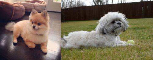 Pomeranian vs Mal-Shi