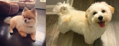 Pomeranian vs Maltipoo