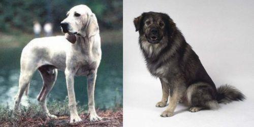 Porcelaine vs Istrian Sheepdog