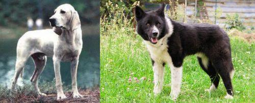 Porcelaine vs Karelian Bear Dog