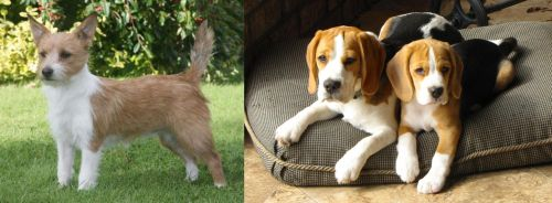 Portuguese Podengo vs Beagle