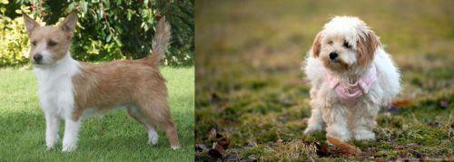 Portuguese Podengo vs West Highland White Terrier