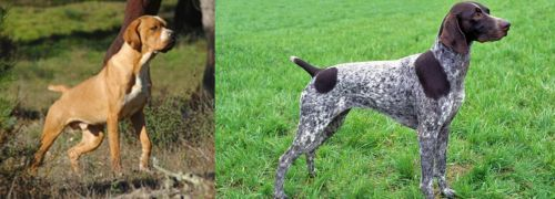 Portuguese Pointer vs German Shorthaired Pointer