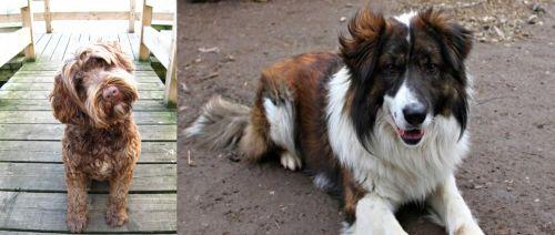 Portuguese Water Dog vs Aidi