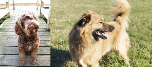 Portuguese Water Dog vs Basque Shepherd