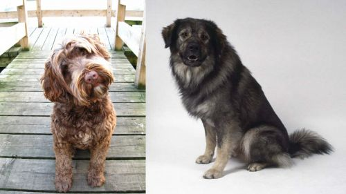 Portuguese Water Dog vs Istrian Sheepdog