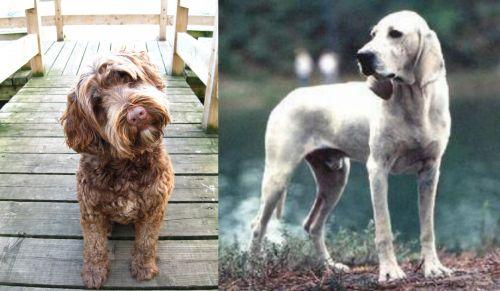 Portuguese Water Dog vs Porcelaine