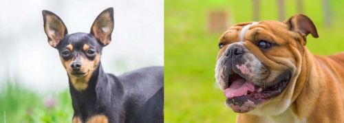 Prazsky Krysarik vs Miniature English Bulldog