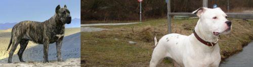 Presa Canario vs Antebellum Bulldog