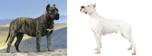 Presa Canario vs Argentine Dogo