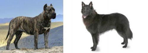 Presa Canario vs Belgian Shepherd