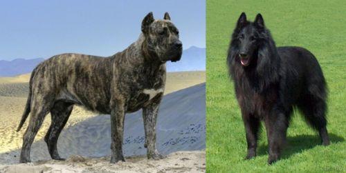Presa Canario vs Belgian Shepherd Dog (Groenendael)