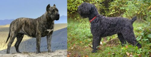 Presa Canario vs Black Russian Terrier