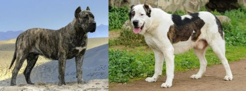 Presa Canario vs Central Asian Shepherd