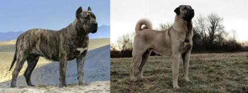Presa Canario vs Kangal Dog