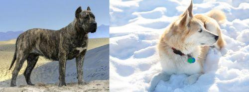 Presa Canario vs Labrador Husky