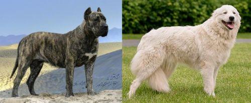 Presa Canario vs Maremma Sheepdog