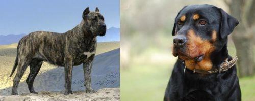 Presa Canario vs Rottweiler