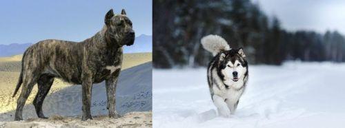 Presa Canario vs Siberian Husky