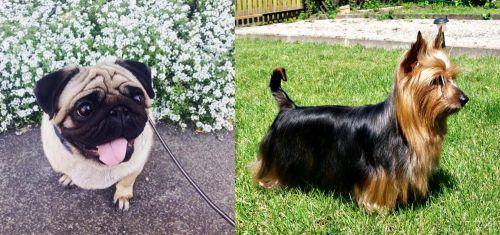 Pug vs Australian Silky Terrier