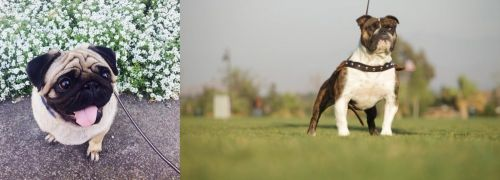 Pug vs Bantam Bulldog