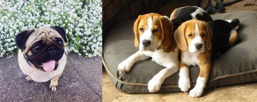 Pug vs Beagle