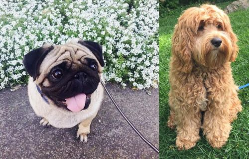 Pug vs Cockapoo