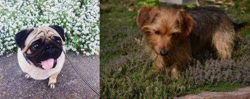 Pug vs Dorkie