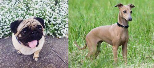 Pug vs Italian Greyhound